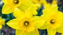 Daffodils bloom in a field. Image courtesy of pexels.com.