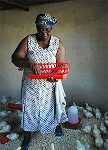 Irene Chitere tends to baby chicks in Marange, Zimbabwe. Fifty women and girls received chicks as part of an UMCOR-funded farming project.