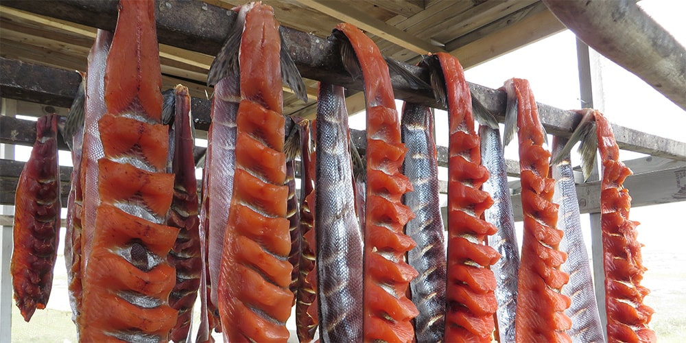 Alaska salmon, filleted and hung for smoking in the traditional way of Alaskan native communities. Photo: Charles Brower.