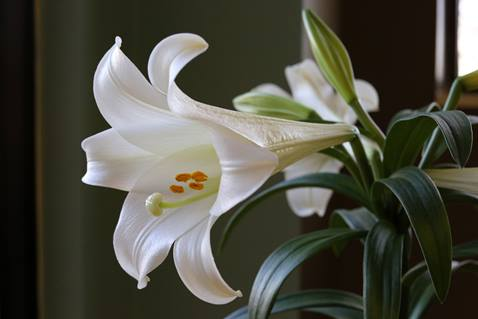 The lily represents purity, hope and grace and is known as a symbol of Easter. Photo by Kathleen Barry, United Methodist Communications.