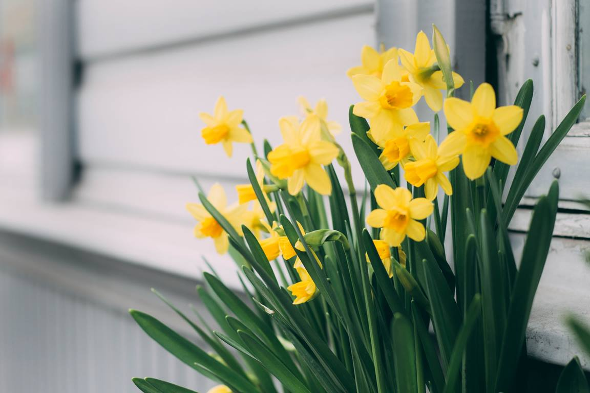 Daffodils in the spring. Photo by Maria Tyutina from Pexels