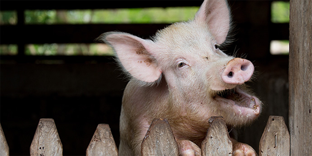A pig looks out over the top of its enclosure during mealtime at the United Methodist Ganta Mission Station in Ganta, Liberia, in 2017. The pigs are sold for meat, and as breeder stock for churches looking to start their own pig-raising endeavors. Sustainable agriculture in Africa is the goal for a $2 million agricultural fund from Global Ministries honoring the late Bishop John K. Yambasu. File Photo by Mike DuBose, UM News.