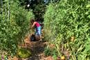 A volunteer picks tomatoes at the Concord United Methodist community garden